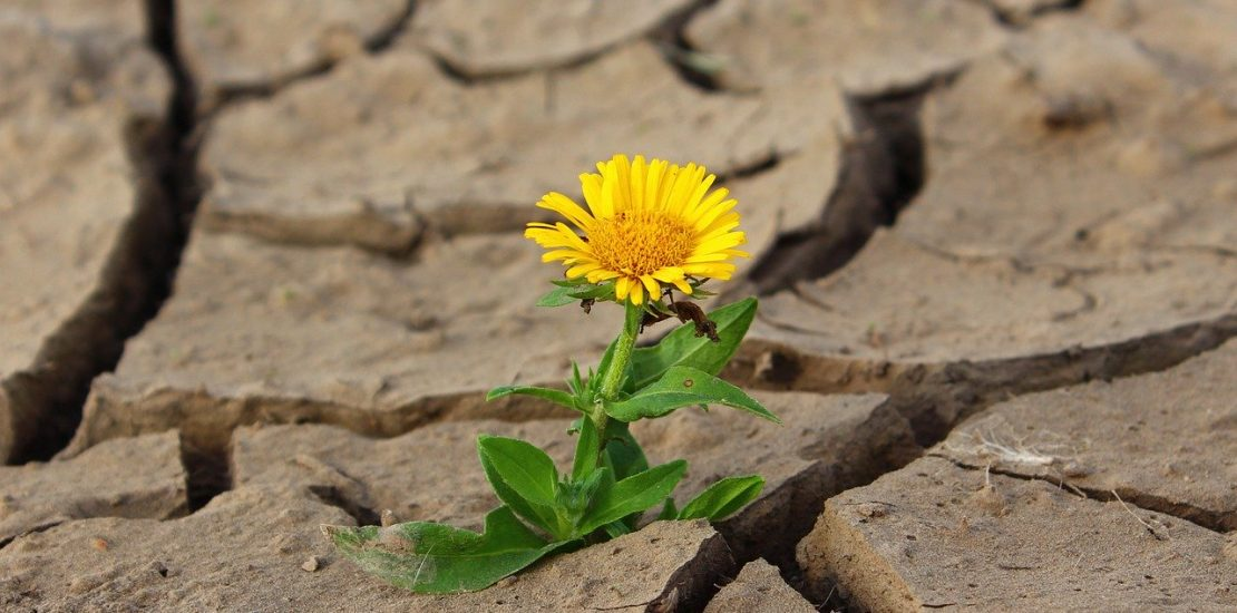 A Yellow Dandelion in Cracked Dirt